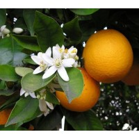 Oranjebloesem hydrolaat
